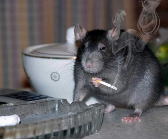 Smoking Rats Bangstyle2