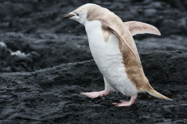 all-white-penguin-spotted_46843_600x450